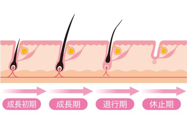 脱毛毛周期